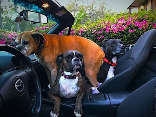 Покажіть нам кращі фотографії домашніх вихованців з вашими автомобілями